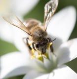 Abeja en un snowdrop de la flor cierre Imágenes de archivo libres de regalías