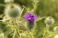 Abeja en un solo cardo floreciente en un prado Imagen de archivo libre de regalías