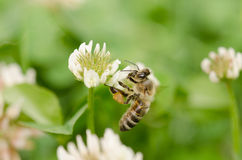 Abeja en un trébol de la flor Foto de archivo libre de regalías