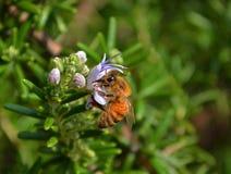 Abeja en un tronco de flores purpúreas claras Fotografía de archivo libre de regalías