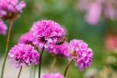 Abeja en un verano del arco de la flor en el jardín Fotografía de archivo libre de regalías
