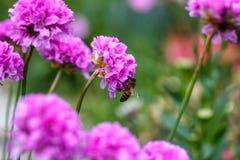 Abeja en un verano del arco de la flor en el jardín Imagen de archivo