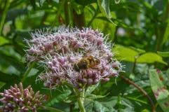 Abeja en un wildflower Imágenes de archivo libres de regalías