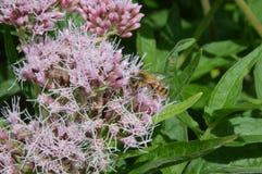 Abeja en un wildflower Fotografía de archivo