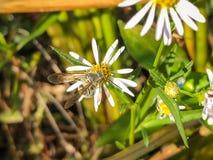 Abeja en un wildflower Fotos de archivo