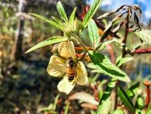 Abeja en un wildflower Imagenes de archivo