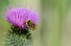 Abeja en un wildflower Fotos de archivo libres de regalías