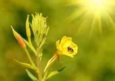 Abeja en un wildflower amarillo Imágenes de archivo libres de regalías