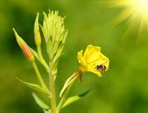 Abeja en un wildflower amarillo Fotos de archivo