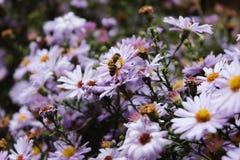Abeja en una cama de flor Fotos de archivo libres de regalías