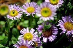 Abeja en una cama de flor Fotos de archivo