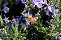 Abeja en una cama de flor Imagenes de archivo