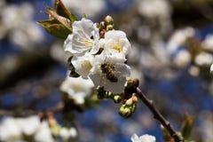 Abeja en una cereza blossom-4 Fotos de archivo libres de regalías