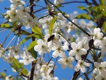 Abeja en una cereza de la flor Imagen de archivo