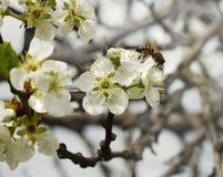 Abeja en una cereza de la flor blanca Fotos de archivo