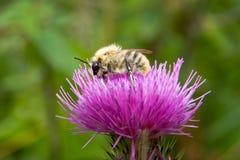 Abeja en una flor Fotos de archivo libres de regalías