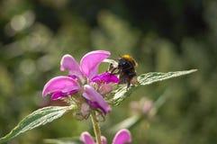 Abeja en una flor, Imagen de archivo libre de regalías
