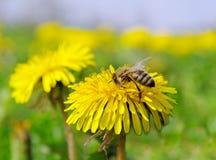 Abeja en una flor. Foto de archivo libre de regalías