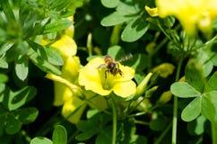 Abeja en una flor Fotos de archivo
