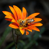 Abeja en una flor Imagen de archivo
