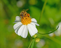 Abeja en una flor Imágenes de archivo libres de regalías