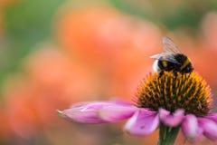 Abeja en una flor Foto de archivo libre de regalías
