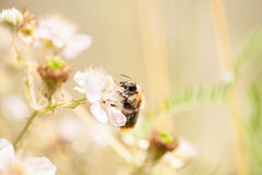 Abeja en una flor Fotografía de archivo