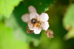 Abeja en una flor Imagen de archivo