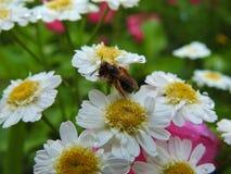 Abeja en una flor Imagenes de archivo