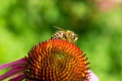 Abeja en una flor Foto de archivo