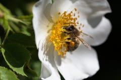 Abeja en una flor Abeja en una flor de un whiteflower Fotografía de archivo