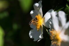 Abeja en una flor Abeja en una flor de un whiteflower Imagenes de archivo