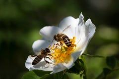 Abeja en una flor Abeja en una flor de un whiteflower Imagen de archivo