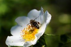 Abeja en una flor Abeja en una flor de un whiteflower Fotografía de archivo libre de regalías