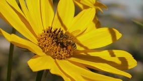 Abeja en una flor amarilla almacen de metraje de vídeo