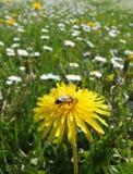 Abeja en una flor amarilla Fotos de archivo