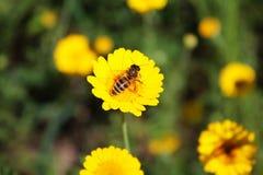 Abeja en una flor amarilla Imágenes de archivo libres de regalías