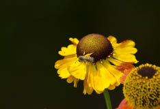 Abeja en una flor amarilla Foto de archivo