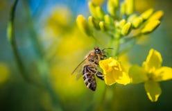 Abeja en una flor amarilla Fotografía de archivo