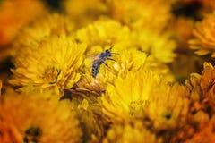 Abeja en una flor amarilla Fotos de archivo libres de regalías
