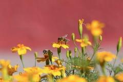 Abeja en una flor amarilla Foto de archivo libre de regalías