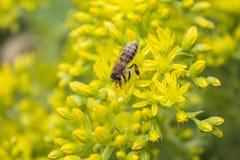 Abeja en una flor amarilla Imagenes de archivo