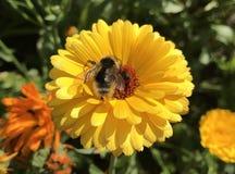 Abeja en una flor amarilla de la maravilla Imagen de archivo