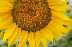 Abeja en una flor amarilla de un girasol imagen de archivo