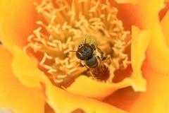 Abeja en una flor amarilla del cactus (basilaris de la Opuntia) Fotografía de archivo