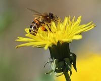 Abeja en una flor amarilla del diente de león que recoge el polen Foto de archivo libre de regalías