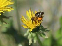 Abeja en una flor amarilla del diente de león que recoge el polen Imagen de archivo libre de regalías