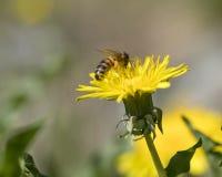 Abeja en una flor amarilla del diente de león que recoge el polen Fotos de archivo libres de regalías