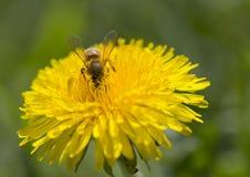 Abeja en una flor amarilla del diente de león que recoge el polen Fotografía de archivo