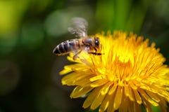 Abeja en una flor amarilla del diente de león que recoge el polen y el gatherin Imágenes de archivo libres de regalías